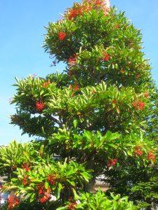 珊瑚樹の実